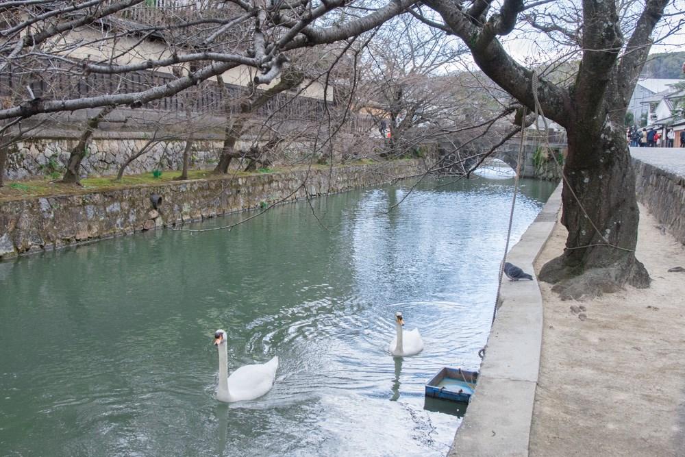 倉敷川の白鳥