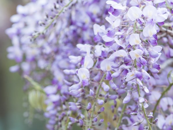 藤見の会 〜 美観地区で5月上旬に開催!日本一の「阿知の藤」を楽しむ藤まつり