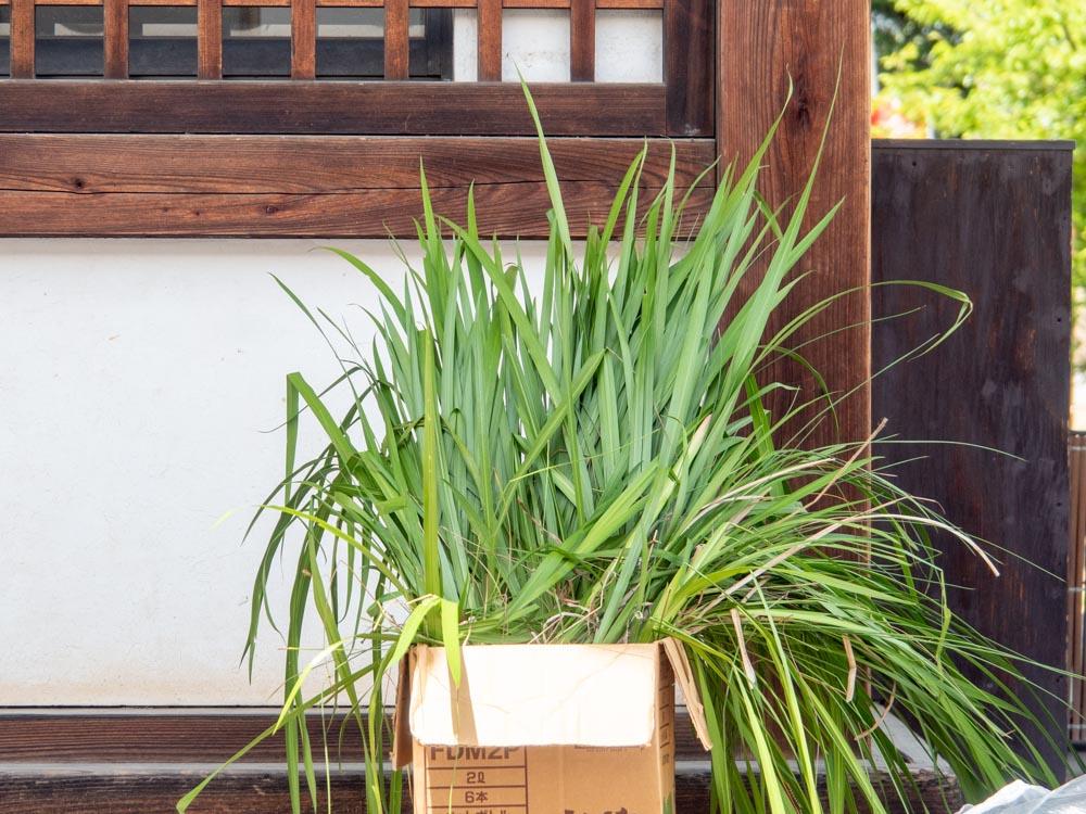 藤見の会(令和元年) 拝殿前で配布されていた葉菖蒲