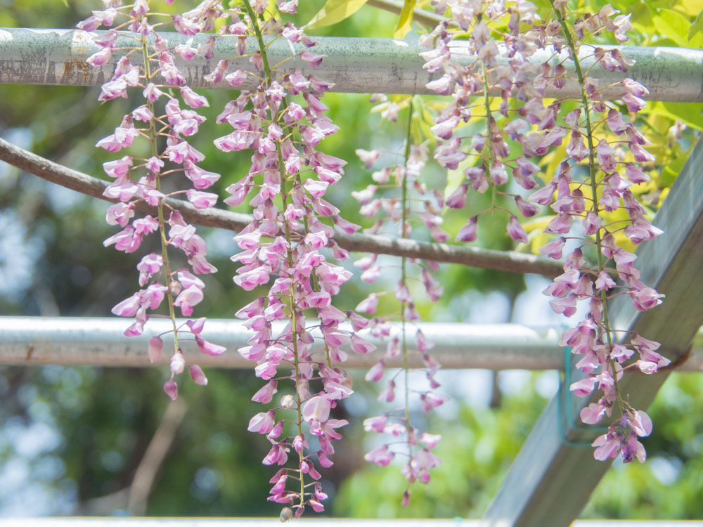 藤見の会(令和元年) 阿知の藤の花