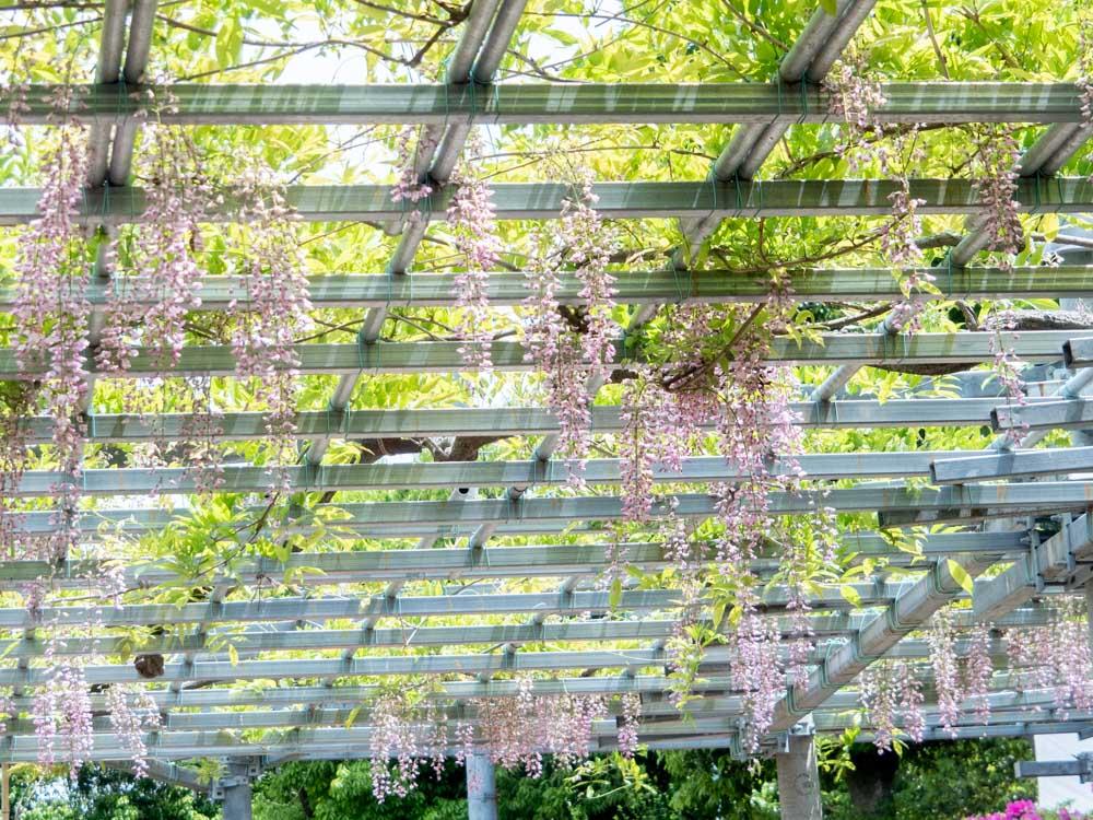 藤見の会(令和z元年) 阿知の藤の花