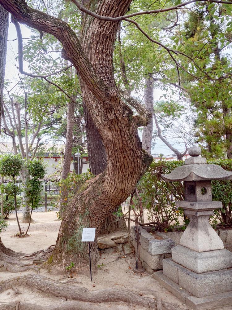城山稲荷神社のクスノキ