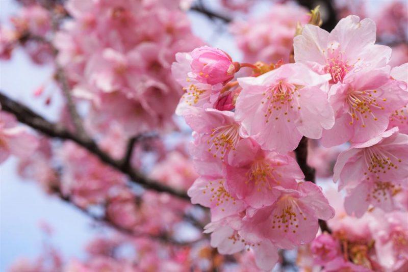 倉敷川沿い 河津桜