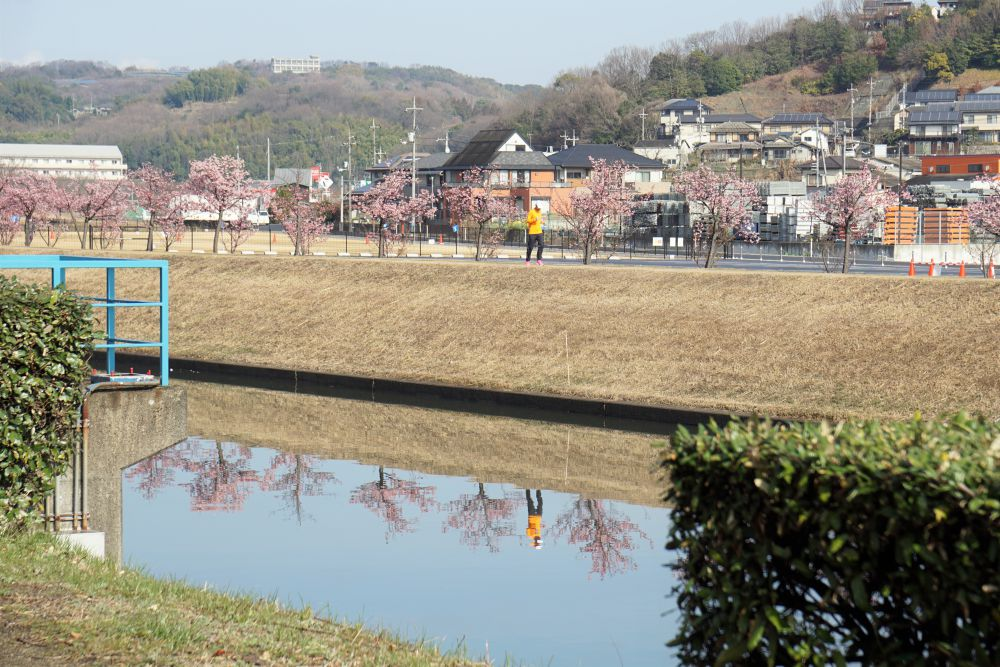 福原緑地 河津桜