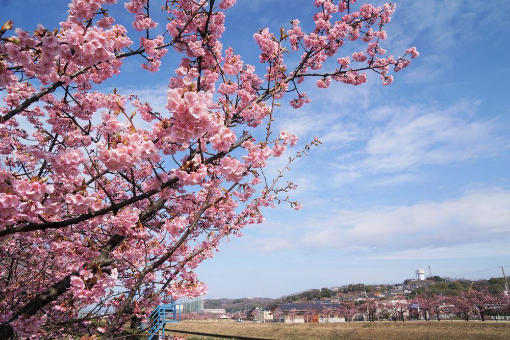 倉敷川 河津桜