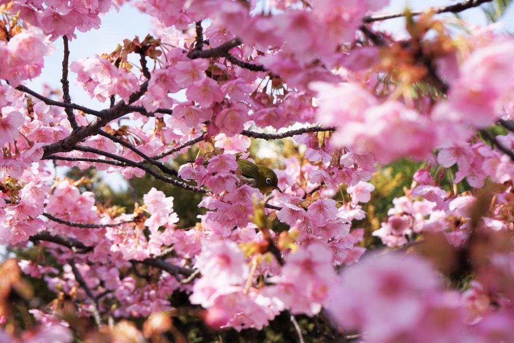 倉敷親水公園 河津桜