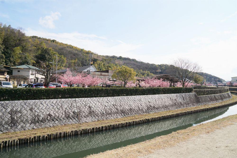 倉敷千本桜