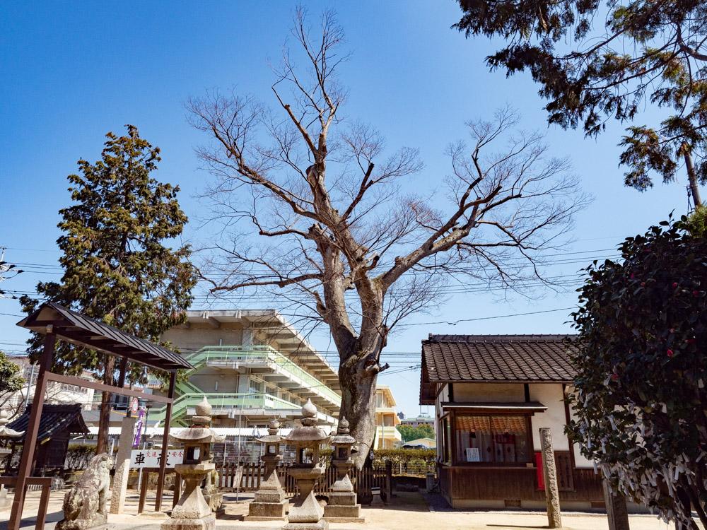 春日神社:ケヤキ