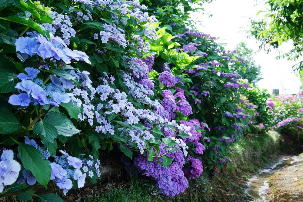 住心院 紫陽花