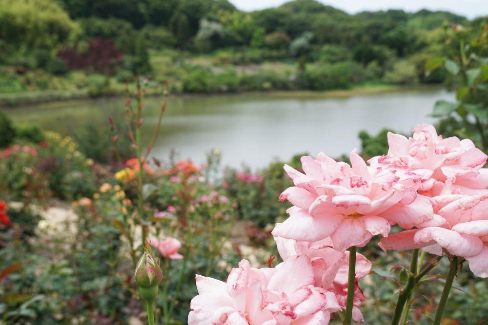 種松山公園 バラ園