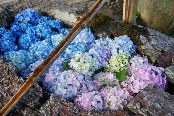 梅雨の季節を彩る紫陽花 ~ 倉敷の紫陽花名所を散策
