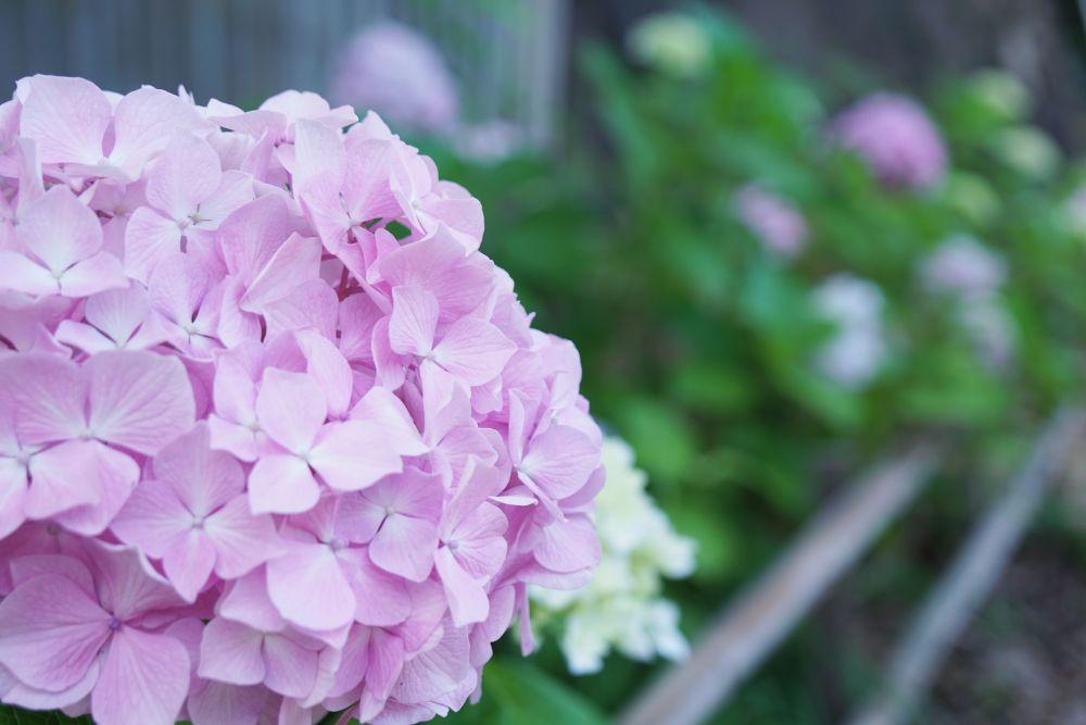 阿智神社 紫陽花