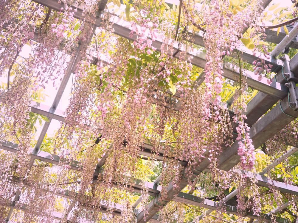 藤見の会(令和3年5月1日~3日) ~ 2年ぶりに開催!県指定天然記念物「阿知の藤」を楽しむ祭り